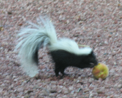 baby skunk playing