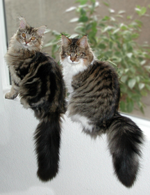 Maine Coon cats tails sitting two